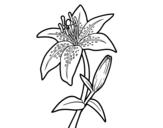 <span class='hidden-xs'>Coloriage de </span>Lilium candidum à colorier