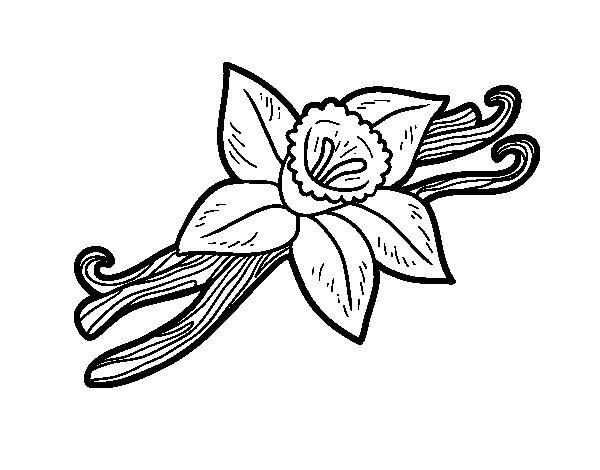 Coloriage de vanille pour colorier - Vanille dessin ...