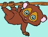 Pygmée loris